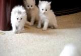 لعبة القطط الصغار